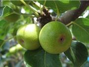 Những công dụng chữa bệnh của cây sung