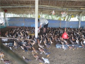 Mô hình nuôi gà ta hiệu quả