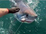 """Ngư dân Anh bắt được cá mập """"siêu khủng"""" khi câu gần bờ biển"""
