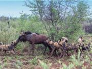 Clip: Bầy chó hoang xé xác linh dương đầu bò dã man