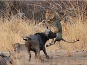 """Clip: Trâu rừng """"nổi điên"""" đuổi sư tử chạy """"trối chết"""""""