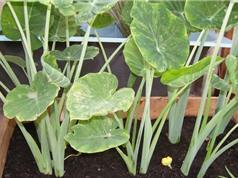 Mẹo trồng dọc mùng trong thùng xốp để cây xanh tốt