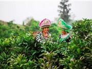 Kỹ thuật trồng và chăm sóc cây chè Shan tuyết Mộc Châu