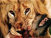 Clip: Linh cẩu chết thảm vì dám thách thức quyền uy của sư tử