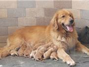 Đài Loan: Mua bán và tiêu thụ thịt chó, mèo phải nộp phạt hơn 8.000 USD