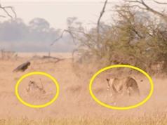 Clip: Bị sư tử truy sát, heo rừng vẫn thoát chết ngoạn mục