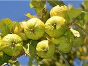 Kỹ thuật trồng ổi trong chậu cho nhiều trái, ít tốn công chăm sóc