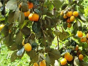 Các vùng trồng hồng nổi tiếng Việt Nam