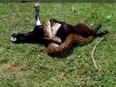 Clip: Trăn khổng lồ săn trộm dê của nông dân Ấn Độ