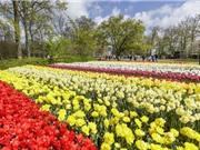 Cận cảnh 7 triệu bông tulip đồng loạt nở tại lễ hội Keukenhof