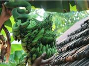 Khánh Hòa: Buồng chuối dáng lạ có 6 nải cùng quay về một hướng