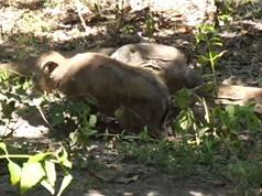 Clip: Trâu bị rồng Komodo sát hại