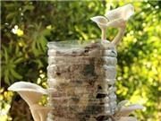 Tự trồng nấm lớn vù vù bằng bã cafe: Tại sao không?