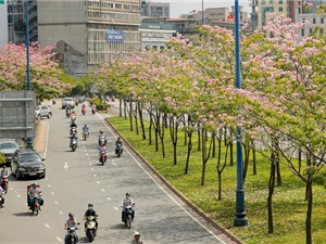 Hoa kèn hồng nở rực cả đoạn đường trung tâm Sài Gòn
