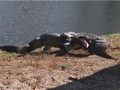Clip: Hai con cá sấu đại chiến quyết liệt tại Mỹ