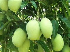 Mẹo trồng và chăm sóc xoài tại nhà cho quả ăn mãi không hết