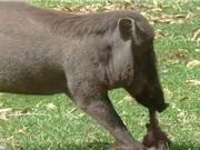 Clip: Kinh hoàng cảnh cảnh heo rừng sát hại khỉ con