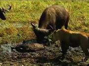 Clip: Trâu rừng thoát chết khó tin khi bị sư tử cắn cổ