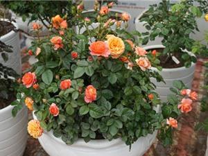 Phương pháp trồng và chăm sóc hoa hồng tại nhà cho nhiều hoa