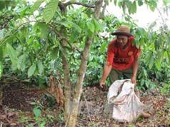 Đắk Nông: Cây trồng chết sau khi được… bón phân