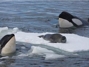 Clip: Bầy cá voi sát thủ bất lực trước chú hải cẩu thông minh