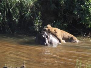 Clip: Sư tử cái truy sát hà mã dưới nước
