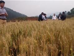 Lúa mì: Gợi ý hay cho các tỉnh miền núi phía Bắc