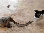 Clip siêu dị: Rắn vừa bị ếch nuốt vừa... chiến đấu với mèo
