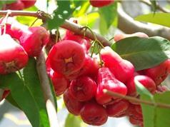 Cách trồng và chăm sóc cây roi cho quả sai cả nhà không hết