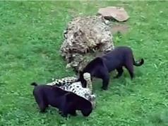 Clip: Màn hỗn chiến kịch tính giữa 4 con báo