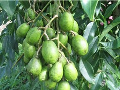 Hướng dẫn trồng và chăm sóc cây cóc Thái cực kỳ đơn giản