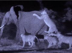 Clip: Bầy sư tử giết chết voi rừng trong đêm