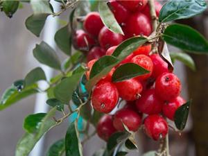 Kỹ thuật trồng và chăm bón nhót cho cây ra nhiều trái