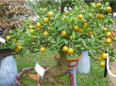 Hướng dẫn trồng cây quất cho quả sai trĩu trịt quanh năm