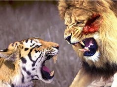 Clip: Những màn đại chiến khốc liệt giữa hổ và sư tử