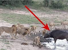 """Clip: Đàn sư tử """"chào thua"""" trước trâu rừng"""