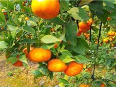 Ảnh hưởng của yếu tố con người đến chất lượng cam Cao Phong