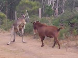 """Clip: Dê """"rảnh việc"""" trêu kangaroo tức điên"""