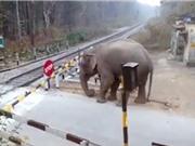 Clip: Voi vi phạm luật giao thông cực kỳ nguy hiểm