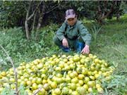 Cách trồng, chăm sóc, thu hoạch và bảo quýt Bắc Kạn