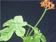 Bộ Y tế đề nghị các trường chặt bỏ ngay cây hoa chứa chất độc
