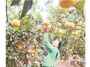 Du lịch nông nghiệp: Hướng đi mới ở Phúc Thọ