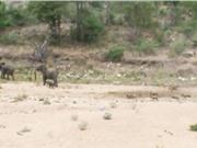 Clip: Đàn chó hoang truy sát voi
