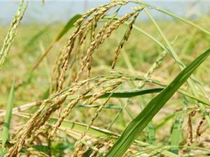 Làm sao nhận diện được lúa nàng Nhen thơm Bảy Núi chính gốc?