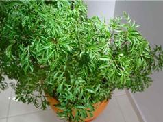 Quy trình trồng và chăm sóc đinh lăng làm thuốc quý
