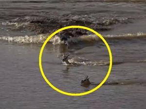 Clip: Cá sấu truy sát, tóm gọn linh dương
