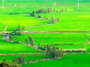 Gạo nàng Nhen thơm Bảy Núi thơm ngon nhờ địa hình đặc biệt