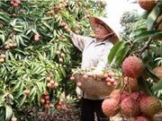 Công đoạn thu hoạch và chăm sóc vải thiều Thanh Hà sau thu hoạch