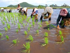 Bí quyết kỹ thuật trồng lúa nàng Nhen thơm Bảy Núi