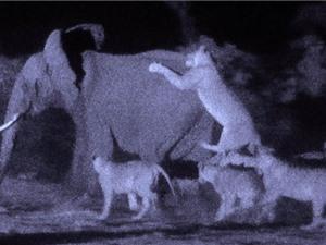 CLIP ĐỘNG VẬT ĐẠI CHIẾN ẤN TƯỢNG NHẤT TUẦN: Sư tử giết voi, tắc kè tấn công rắn